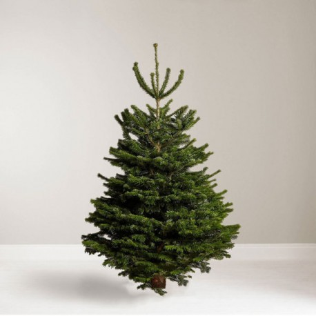 6ft Nordmann Fir Christmas Tree